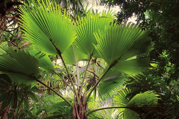 The pritchardia hillebrandii, a native Hawaiian palm, grows in the palm forest of W.S. Merwin in Peahi. -- LARRY CAMERON photo