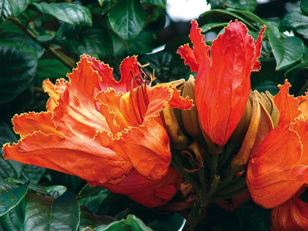 The brilliant orange flower of the African tulip tree has been in Hawaii for a long time. The landscaping plant was first introduced in the mid-1800s. -- FOREST and KIM STARR photo