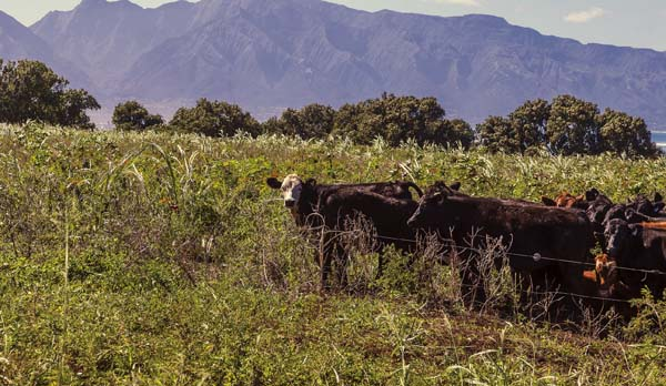 Alexander & Baldwin has established Kulolio Ranch in Hamakuapoko, a grass-fed cattle pasture operation. The formation of the ranch on 4,000 acres comes after trials that began in late 2015 on old Hawaiian Commercial & Sugar Co. lands. Alexander & Baldwin photo