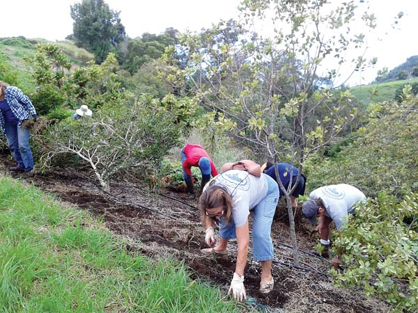 Volunteers weed a 250-foot windbreak of established native mock orange-alahee trees for new plantings of ohia trees and aalii understory. -- LYNN BRITTON photo