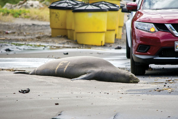 Monk seal R308, which is at least 14 years old and has had six pups, moved dangerously close to Honoapiilani Highway on Wednesday and had to be encouraged to return to the sea, Maui marine mammal officials said. The seal was uninjured. ASA ELLISON photo