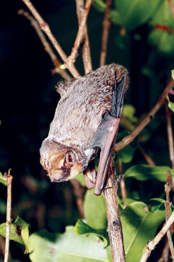 The Hawaiian hoary bat, or 'ope'ape'a, has been confirmed to visit and possibly live on Kahoolawe after years of speculation and unconfirmed reports. --  JACK JEFFREY photo