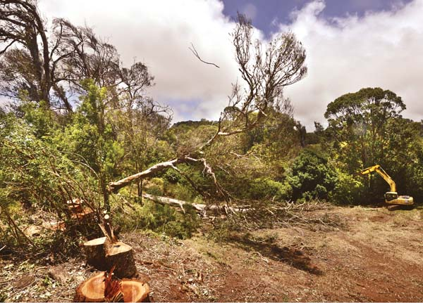 """With Land Prep LLC owner Donald DeCoite pulling with a cable attached to his excavator and chainsaw operator Kelvin Ferguson making precise cuts, a windblown eucalyptus tree more than 100 feet tall is brought down Wednesday afternoon in Piiholo. The tree was leaning and being blown in the opposite direction, over Piiholo Road. The dying tree is one of many lining the road that are scheduled to be brought down. DeCoite, who has also been contracted to remove dead eucalyptus trees in other parts of the island, predicted a rough future for the fast-growing, introduced species known for its hard, dense wood. """"The whole island of blue gum is going to die,"""" he said. The Maui News / MATTHEW THAYER photo"""