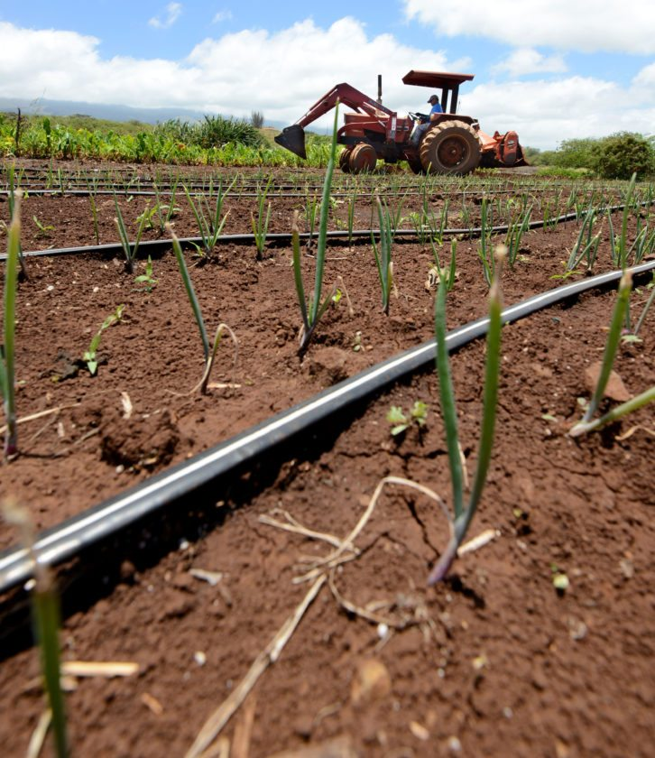 Onion sprouts of a variety trial at the Kula Agricultural Park blow in the wind Wednesday morning at the University of Hawaii College of Tropical Agriculture and Human Resources farm lot. In the background, ag tech Ward Murashige creates a shallow drainage swale between the onions and a test patch of dryland taro. The county is considering purchasing old sugar fields to expand the park. • The Maui News / MATTHEW THAYER photo