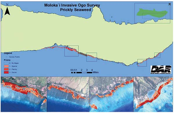 This map shows the extent of the invasive prickly seaweed on the Molokai shoreline.  -- Photo courtesy of Arleone Dibben-Young