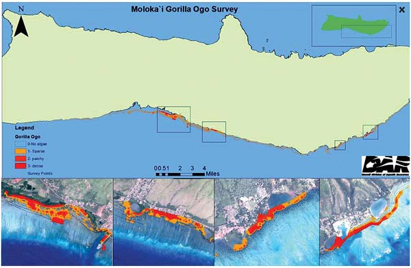 This map shows the extent of the invasive gorilla ogo on the Molokai shoreline. -- Photo courtesy of Arleone Dibben-Young