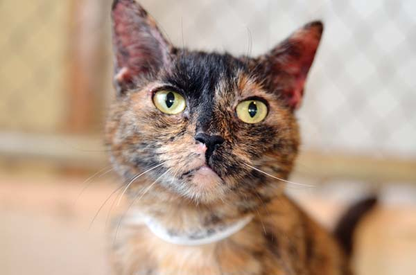 Outgoing and affectionate lady Zeebee is ready to be the purr-fect new pal for you. -- RUBY HERNANDEZ photo