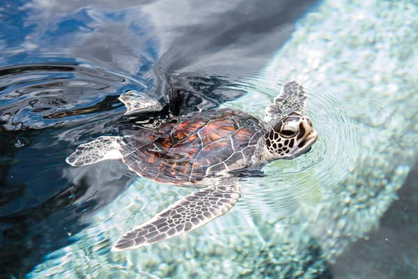 A Hawaiian green sea turtle surfaces for air at the Turtle Lagoon, a favorite of visitors to the Maui Ocean Center. -- Photo courtesy Maui Ocean Center