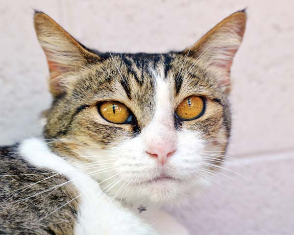Nana, cat No. H11, is a sweet senior that just wants the chance to curl up next to you. -- RUBY HERNANDEZ photo