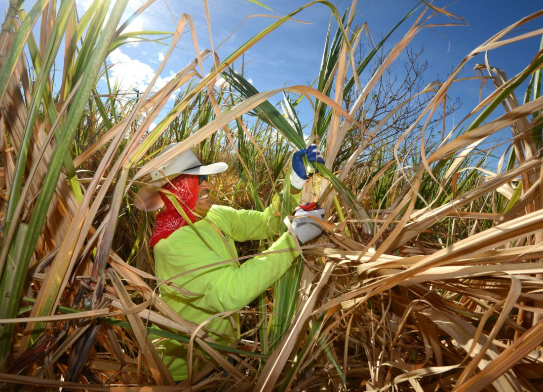 Volunteer Roberto Varragan of Paia trims green leaves from a drying sugar cane field about a half-mile from Puunene Mill on Saturday. • The Maui News / MATTHEW THAYER photo
