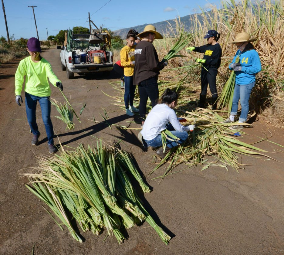 Sparks Basketball Maui players sort out usable leaves from piles carried out of the fields by their coaches. • The Maui News / MATTHEW THAYER photo