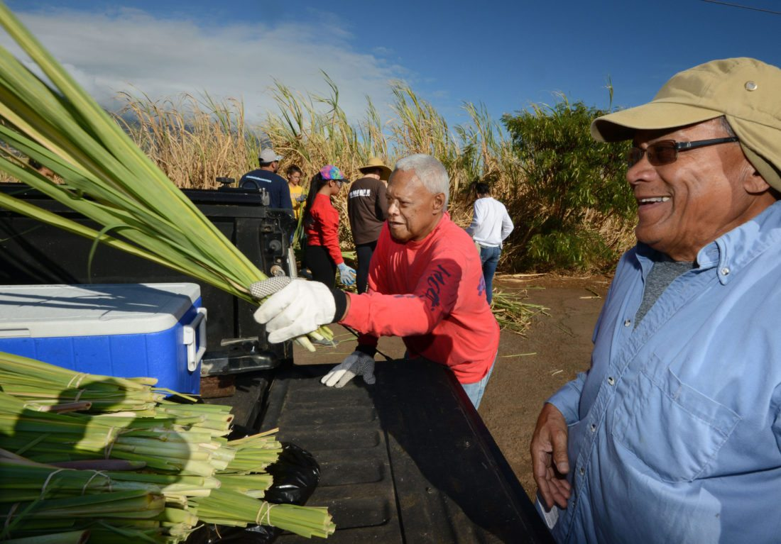 Royal Order of Kamehameha Kahekili Chapter IV members Herbie Kamoku (left) and Reggie Valle of Maui load bundles of sugar cane leaves into the bed of a truck Saturday in Puunene. They were part of a volunteer crew helping collect enough of the increasingly rare leaves for a Kona organization to weave the exterior of a hale nana mahina'ai, a 10-foot-by-18-foot structure at Ahu'ena Heiau on the Big Island. The hale was one of King Kamehameha's working residences. • The Maui News / MATTHEW THAYER photo
