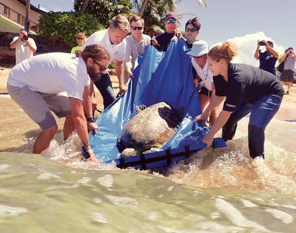 A green sea turtle that was rescued Aug. 21 with a fish hook in its mouth and fishing line threatening one of its front flippers is released into the waters of Tavares Bay on Friday afternoon by staffers from National Oceanic and Atmospheric Administration and Maui Ocean Center's Marine Institute. The 150-pound sub-adult male was the 1,000th turtle in the state to be rehabilitated and released back into the wild by NOAA.  -- The Maui News / MATTHEW THAYER photo