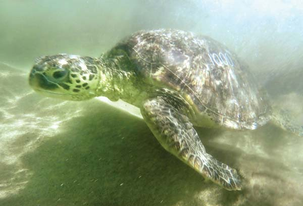 Turtle No. 1,000 is released in Tavares Bay on Friday afternoon.  -- The Maui News / MATTHEW THAYER photo