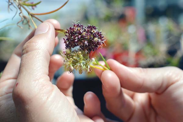 Hand pollinating Schiedea haleakalensis involves manually touching the male, light green flowers to the dark pink female flowers. -- Photo courtesy Native Hawaiian Plant Society