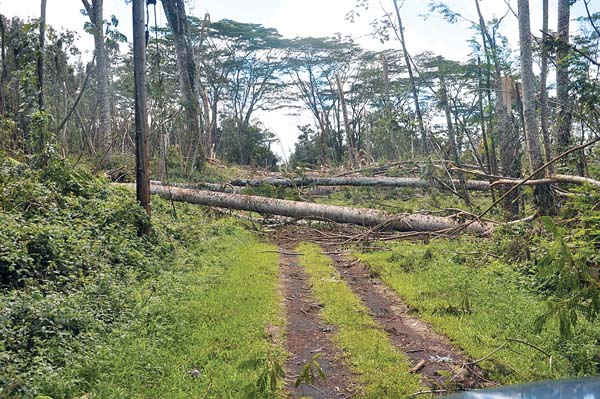 Albizia trees took a hit in 2014 when Tropical Storm Iselle made landfall on Hawaii island. The damage from these invasive trees falling on power lines and roads took weeks to clean up. -- U.S. National Guard / Wikimedia Commons photo