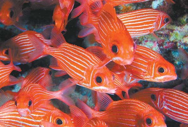 Menpachi are among the food fish species found in Hawaii waters. A recent study pointed to overfishing as the primary cause of reef fish decline in Hawaii, particularly around Maui and Oahu. National Oceanic and Atmospheric Administration photo