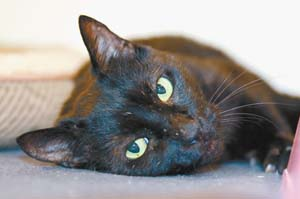 Jory is a 2-year-old neutered male who needs to be an indoor-only cat. -- RUBY HERNANDEZ photo