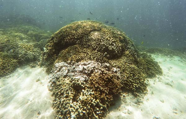 A patch of bleached coral is seen in Kaneohe Bay in 2015. -- AP file photo