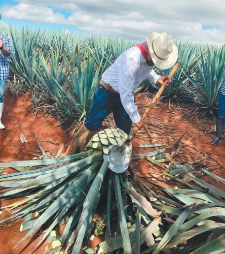 A jimador, or farmer,  harvests an agave plant with a sharp coa tool. -- Photo courtesy Hacienda Patron