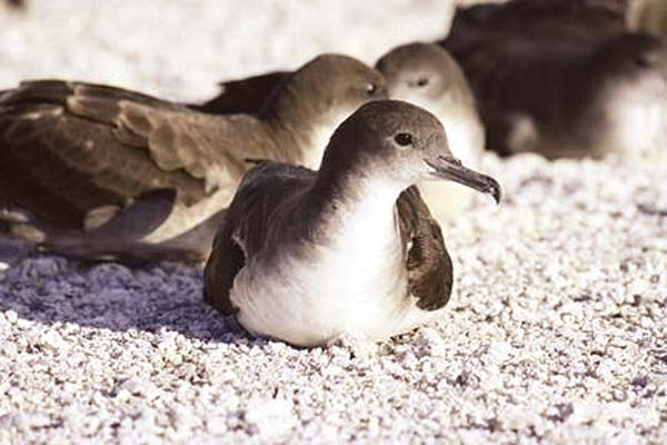 Wedge-tailed shearwater, or ua'u kana. State Department of Land and Natural Resources photo