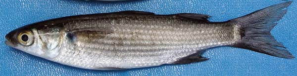 The 'ama'ama, or striped mullet, will be off-limits to fishermen from Friday through March, spawning season for the popular fish. State Department of Land and Natural Resources photo