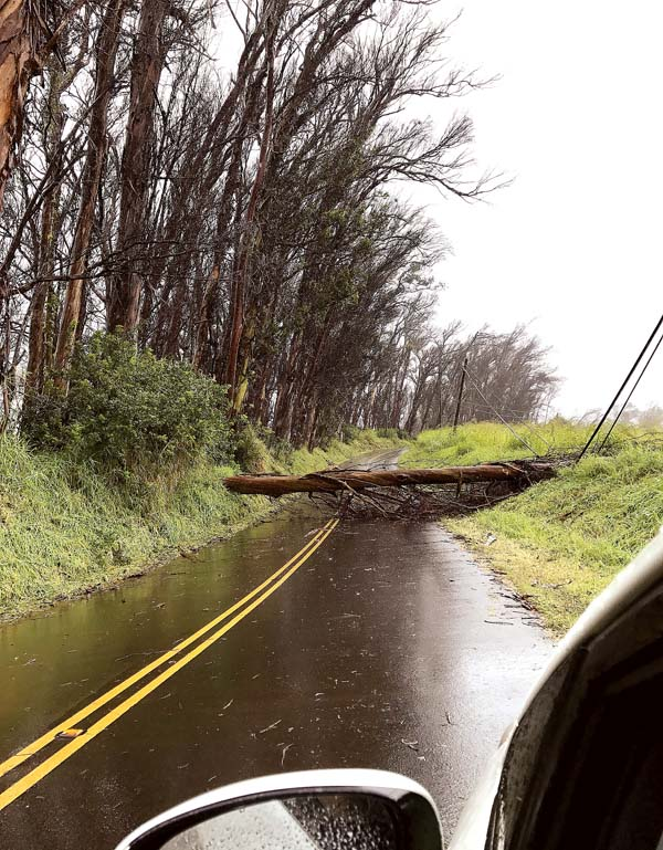 A eucalyptus tree fell on Piiholo Road during stormy weather at about 12:30 p.m. Monday. A county crew was called to remove the fallen tree, a common occurrence for Piiholo residents. MIMI BOYUM TACKABERRY photo