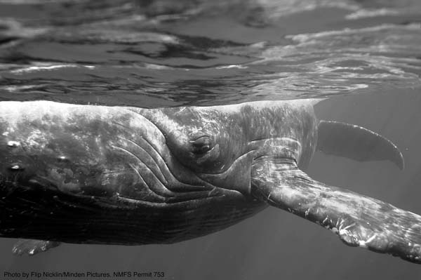 Whale photography by National Geographic photographer Flip Nicklin; courtesy Whale Trust.