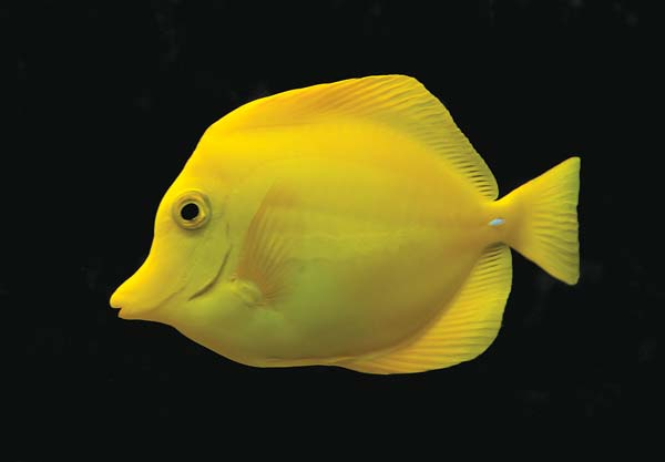 This yellow tang is just one of the colorful and popular fish sought in Hawaii waters by commercial aquarium fish collectors. Luc Viatour photo