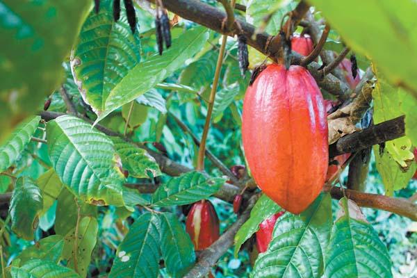 A Hana cacao pod ripens. -- The Maui News / CARLA TRACY photo
