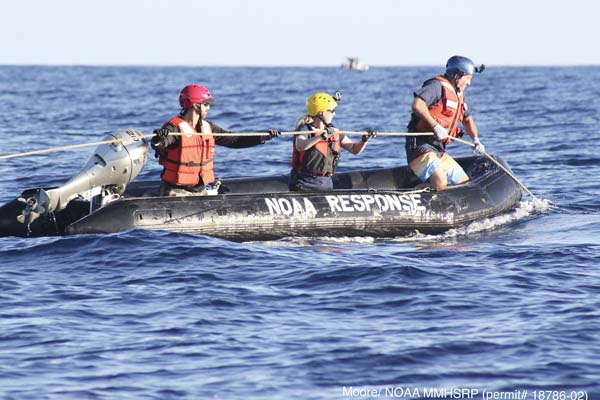 Lee James (from left), lead for the West Maui response team, Nicole Davis of National Oceanic and Atmospheric Administration National Marine Fisheries Service and Ed Lyman of the Hawaiian Islands Humpback Whale National Marine Sanctuary work to disentangle the whale from the line, which was caught in the whale's mouth. JASON MOORE photo