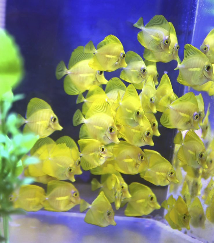 Yellow tangs raised at Hawaii Pacific University's Oceanic Institute arrived at their new home this week at the Maui Ocean Center. • Maui Ocean Center photo