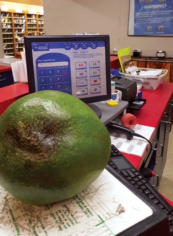 Pokini family members in Upcountry are trying to get their giant avocado to be declared the heaviest in the Guinness Book of World Records. Their avocado, which they had weighed on several scales including one at the Kula Post Office on Thursday, weighed 5 pounds, 7 ounces at its peak. -- Pokini family photo