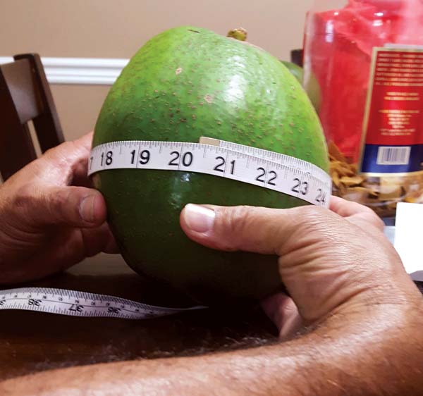 The Pokini family's avocado, which was apparently heavier than the one that made news on the Big Island earlier this month, is 8 inches long and 20 3/8 inches in circumference. -- Pokini family photo