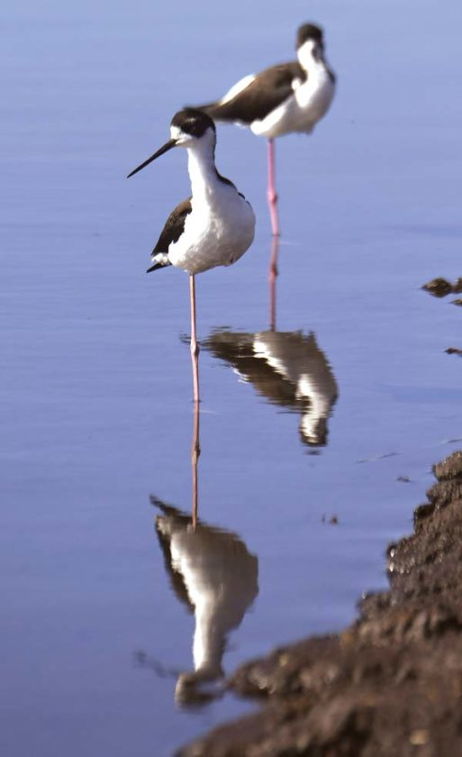 A pair of Hawaiian stilts, or ae'o, each stand on one leg Thursday afternoon at Kealia Pond National Wildlife Refuge. The refuge will offer visitors new programs early next year, including free hourlong guided walks to view birds on Tuesday mornings beginning in January and continuing through March. - The Maui News / MATTHEW THAYER photo