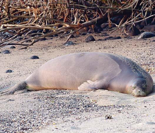 The Hawaiian monk seal is one of the most endangered animals in the world. It's one of only two mammals indigenous to Hawaii's terrestrial environment and is the state's official mammal. --   Maui Ocean Center / SHAWN CALEY photo