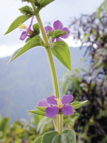Tibouchina is an invasive plant in the melastome family and related to miconia and clidemia. There are  no native melastomes in Hawaii.  -- FOREST and KIM STARR photo
