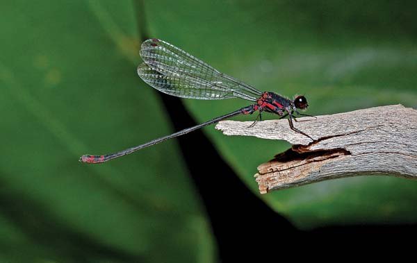 Megalagrion pacificum is an endangered damselfly found on Maui. Evolving over 20 million years of isolation, these native damselflies and dragonflies are threatened by habitat loss and introduced predators like mosquito fish. -- U.S. Fish and Wildlife Service / DAN POLHEMUS photo