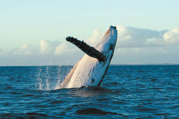 Whale breaching, Pacific Whale Foundation photo.