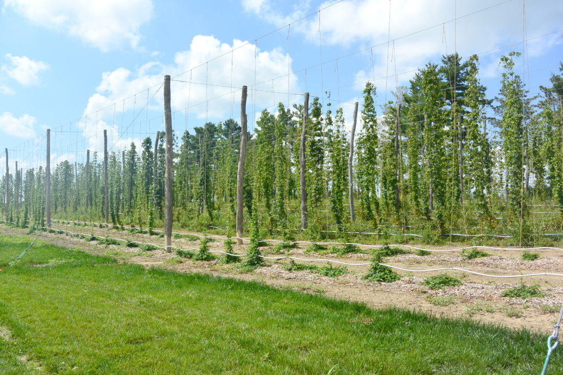 -Submitted photo  In summer, hops rise vertically on their supports.