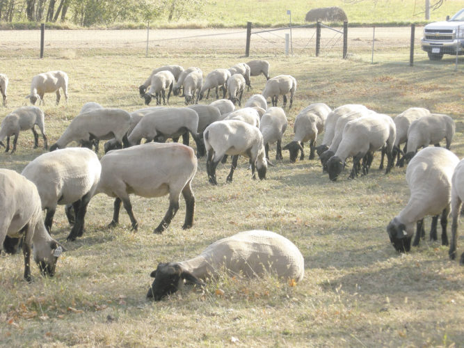 -File photo  Ewes graze in a pasture near Coon Rapids. Although flock and ewe numbers are down in Iowa, flock sizes are reported bigger than in recent history.