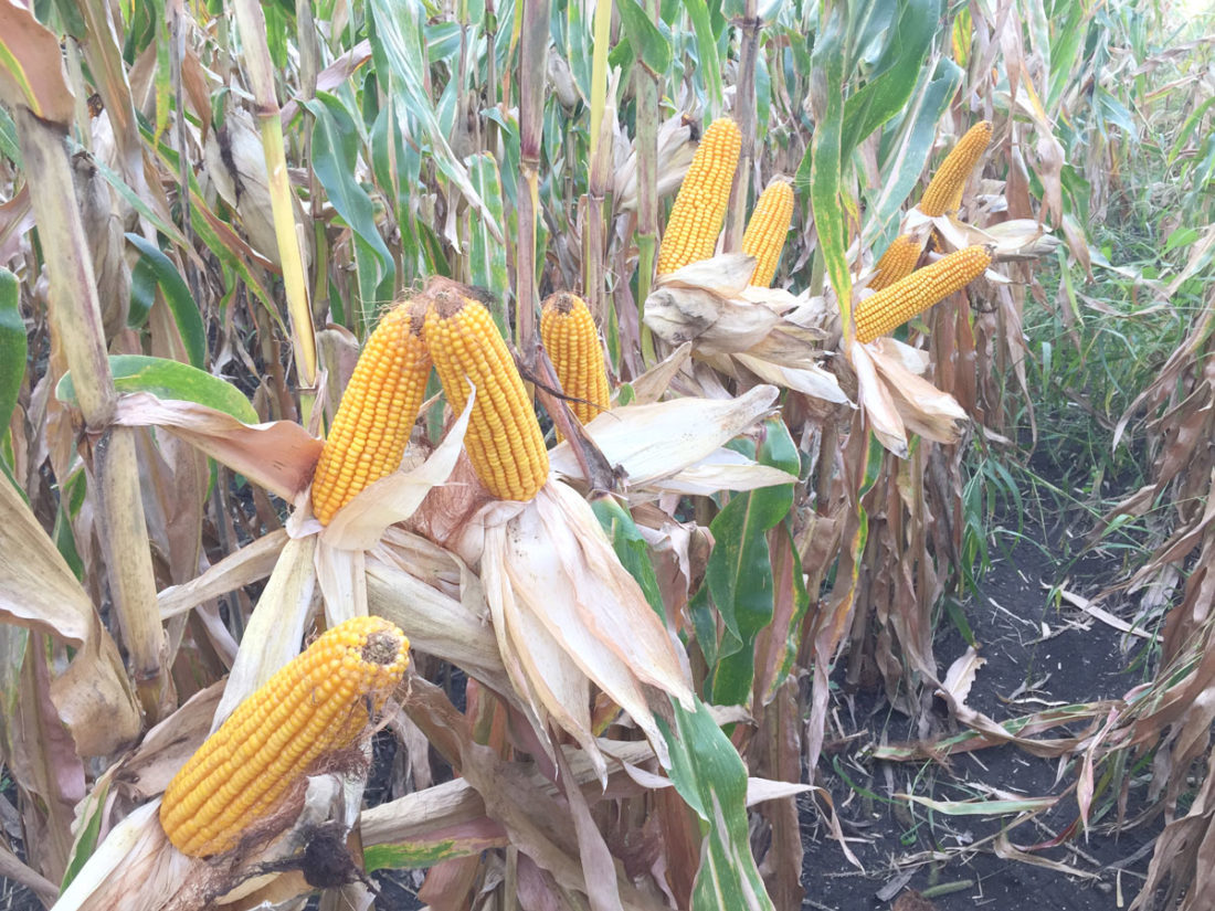 -Submitted photo  Sample organic corn ears were on display at a field day on the Darren Fehr family's Scatterseed Farm near Mallard.