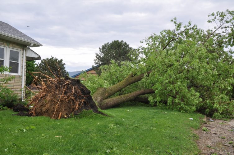 -Messenger photo by Joe Sutter  A large tree has been uprooted near Butler Elementary School