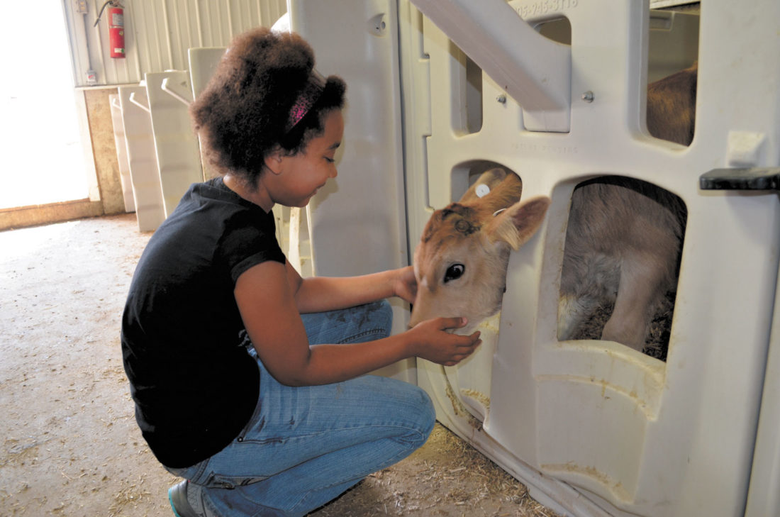 -Messenger photo by Kriss Nelson Marie Edwards plays with a Brown Swiss dairy calf during a field trip to Dutchland Dairy near Rolfe.