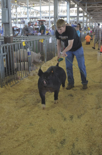 -Messenger photo by Kriss Nelson Kory Kuecker works with his crossbred gilt during the World Pork Expo held June 7-9 at the Iowa State Fairgrounds in Des Moines.