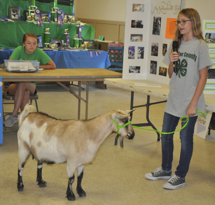 -Messenger photo by Peter KaspariPaige Weiland, 11, a member of the Dayton Tigers 4-H club, talks about her goat, Taffy, who she showed during the Webster County Fair's pet project Sunday. Weiland was the champion in the story division.