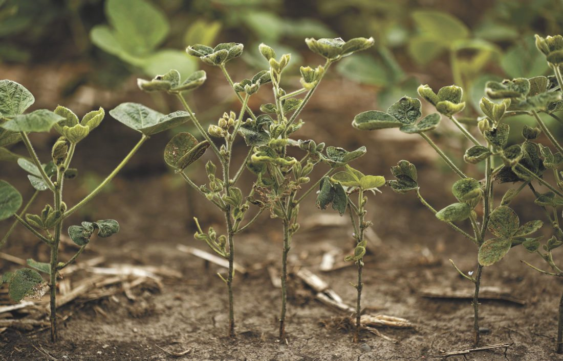 -AP photo  Soybeans in a farm field near Indianola show signs of the drought conditions that are getting worse in several states. Extreme heat and weeks with little rain have begun to stress corn, soybeans, wheat and livestock in some areas.