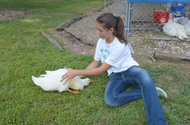 -Messenger photo by Kriss Nelson  Emma Alstott, a member of the Douglas Dreamers 4-H club, gets one of her Pekin ducks ready for the duck show at the Iowa State Fair.