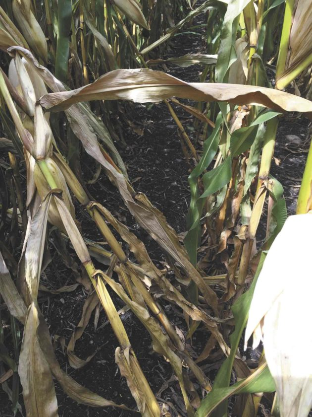 -Submitted photo  Evaluating for stalk rot using the push test shows four in 10 plants were impacted by stalk rot and this field should be prioritized for early harvest.