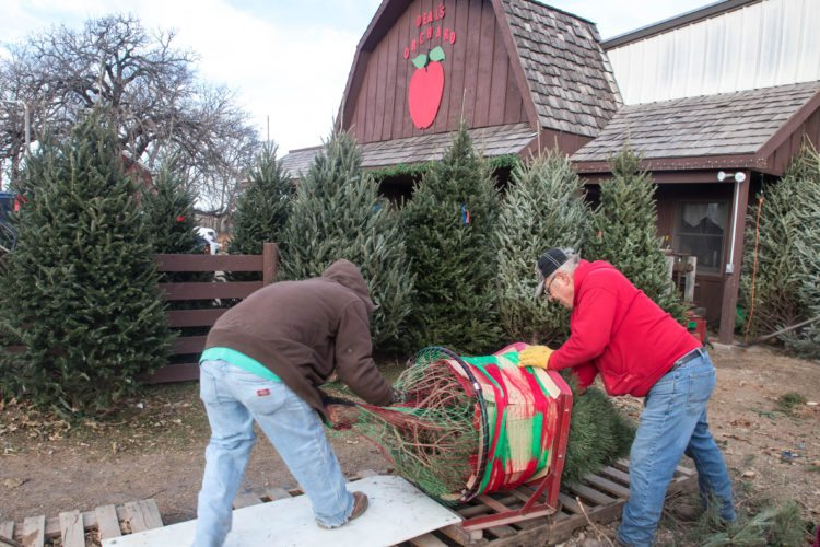 -Messenger photo by Darcy Dougherty Maulsby  Jerald Deal, right, and an employee at Deal's Orchard run a newly-cut Christmas tree through the netting machine so the customer can transport the tree home more easily.